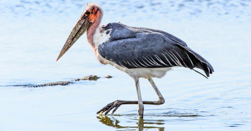 La cigüeña marabú tiene una envergadura de hasta 13 pies.