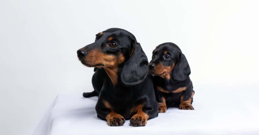 Mini perro salchicha