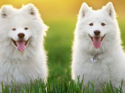 A The 10 Most Expensive Dog Breeds
