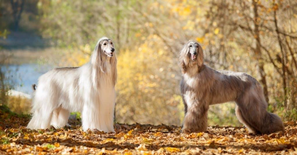 Razas de perros más caras: lebrel afgano