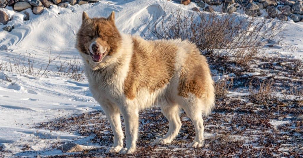 Razas de perros más caras: perro esquimal canadiense