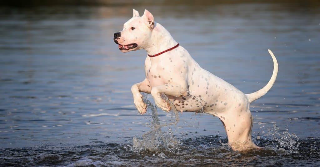 Razas de perros más caras: Dogo Argentino