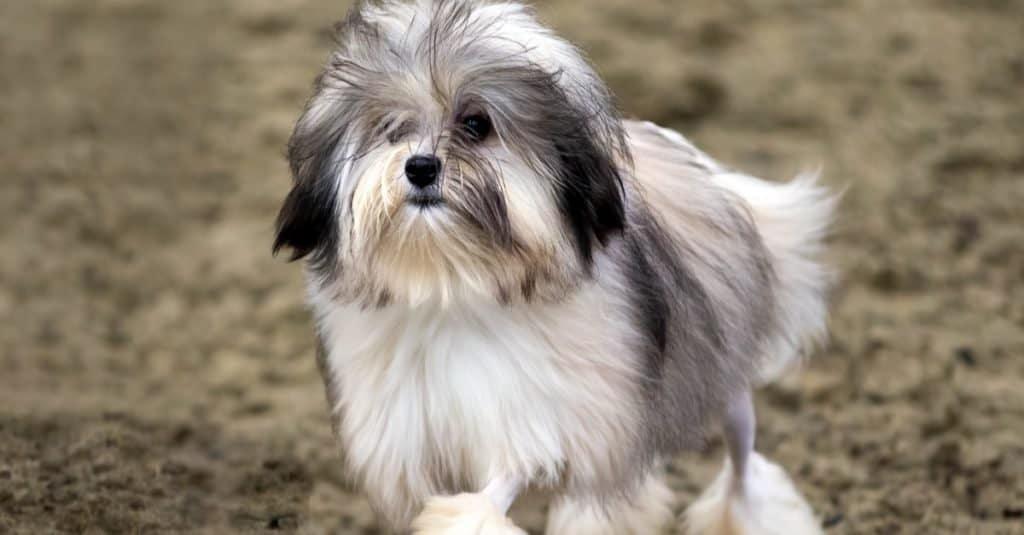 Razas de perros más caras: Löwchen