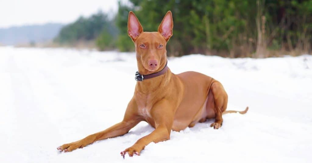 Razas de perros más caras: Pharaoh Hound