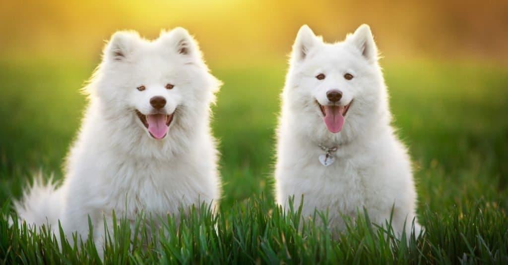 Razas de perros más caras: Samoyedo