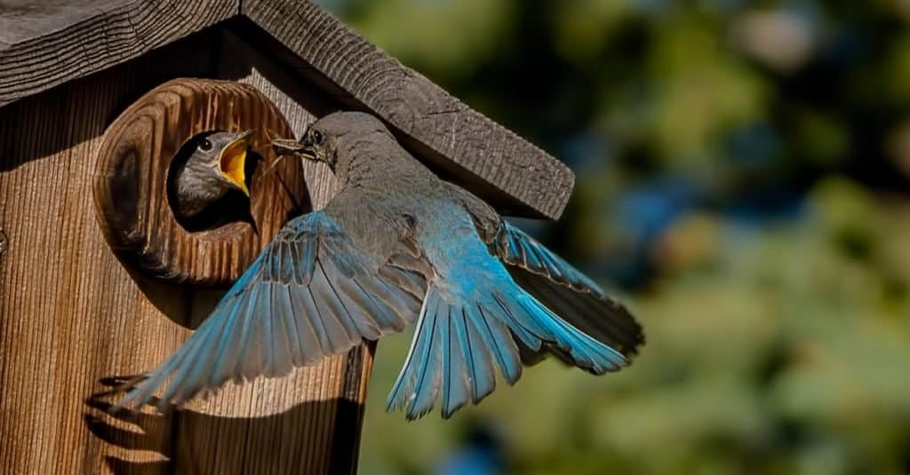 Male Mountain Bluebird feeding a hatchling.