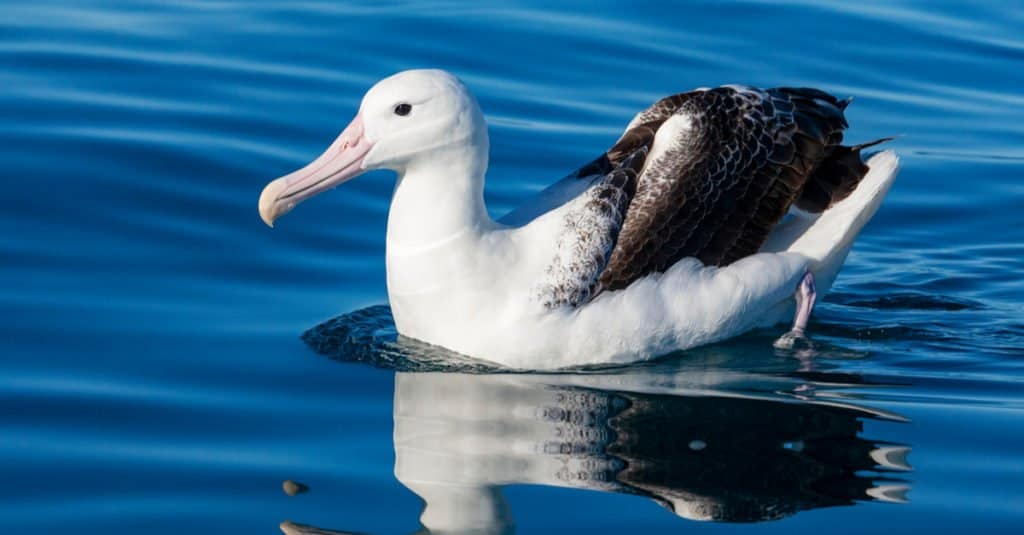 El albatros real del norte no se aparea hasta que cumple ocho años.