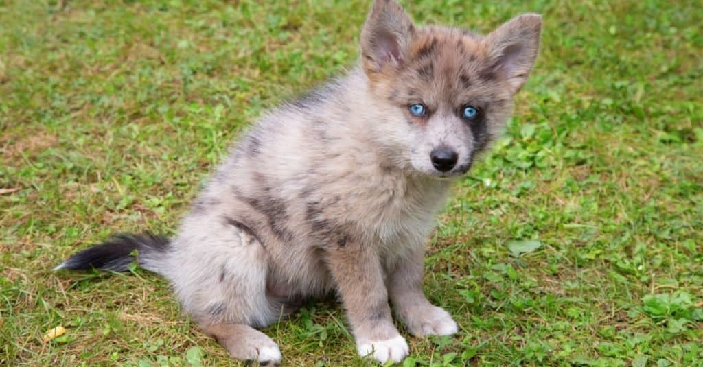 Adorable blue-eyed Pomsky puppy. Pomsky is an artificial breed, a mix of the Siberian Husky and Pomeranian