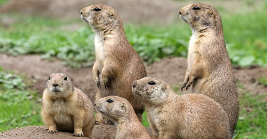 Inquisitive family of Prairie Dogs standing alert.