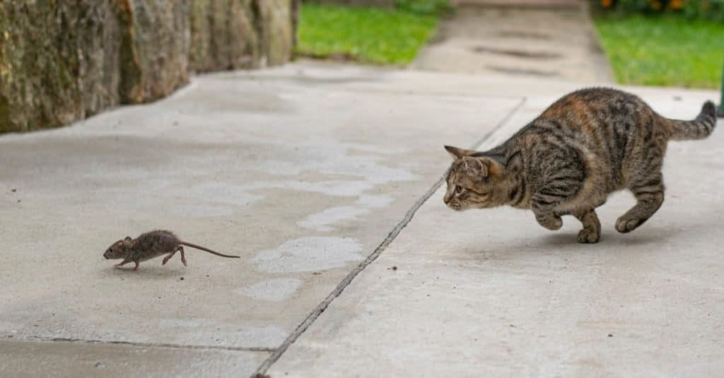 Prehistoric Pets cat hunting
