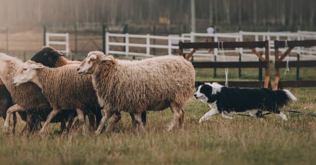 Prehistoric Pets herding dog