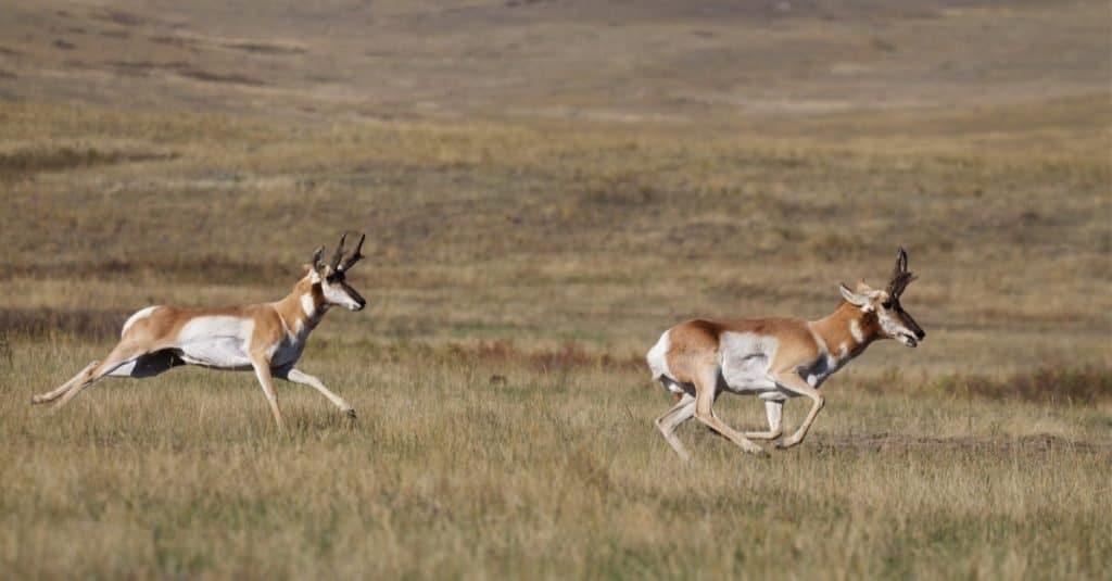 Pronghorn Antelope, Antilocapra americana, the fastest mammal in North America, two bucks running at high speed across the prairie.