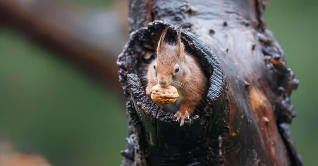 Red squirrel collecting food in the forest.