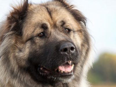 A Russian Bear Dog
