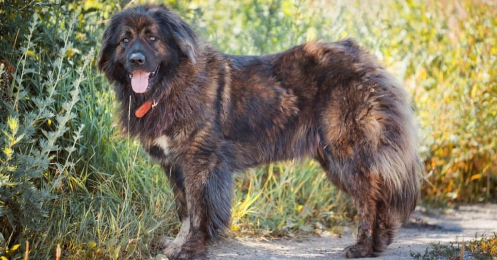 Russian Bear Dog standing outside in the field.