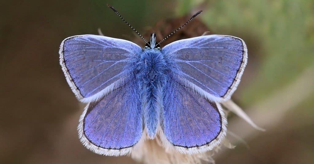 Smallest Butterflies Marine Blue