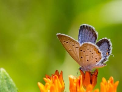 A Top 10 Smallest Butterflies in the World