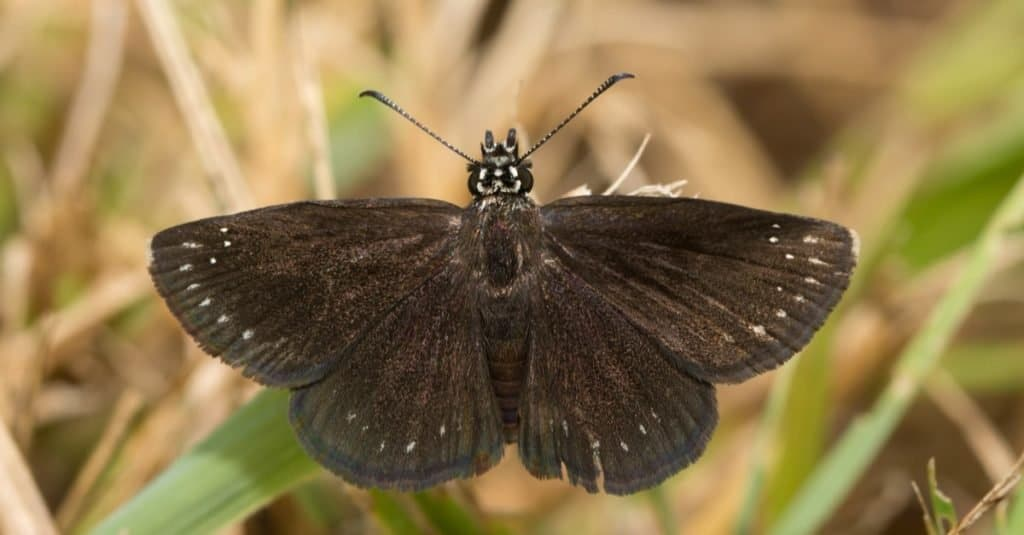 Smallest Butterflies: Common Sootywing