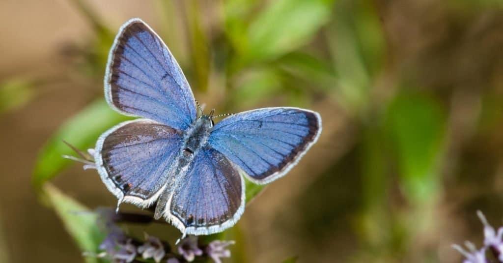 Smallest Butterflies: Eastern Tailed Blue