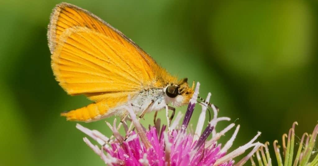 Smallest Butterflies: Least Skipper
