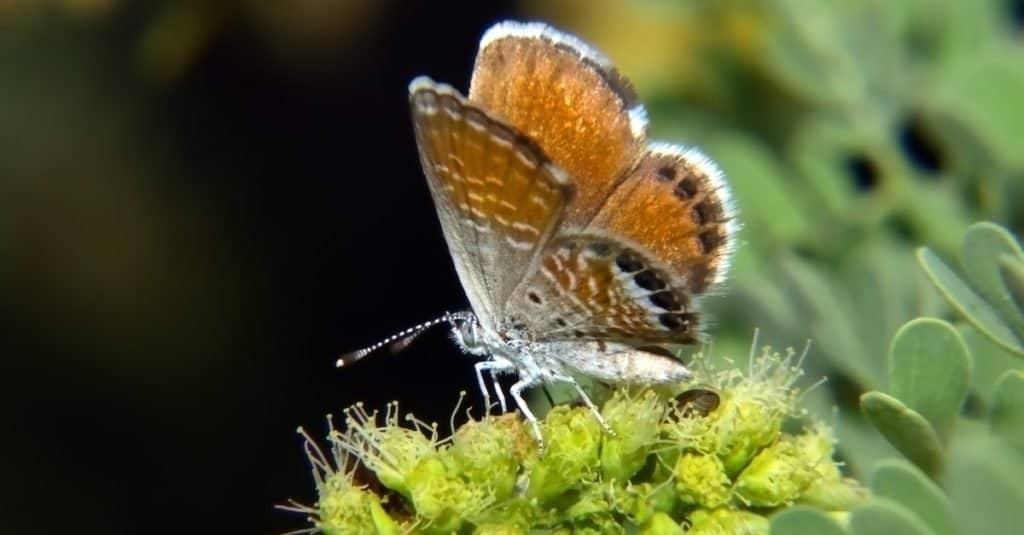 Smallest Butterflies: Western Pygmy Blue Butterfly