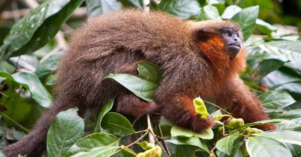 Smallest Monkeys: Dusky Titi