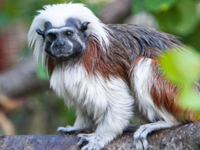 A Top 10 Smallest Monkeys in the World