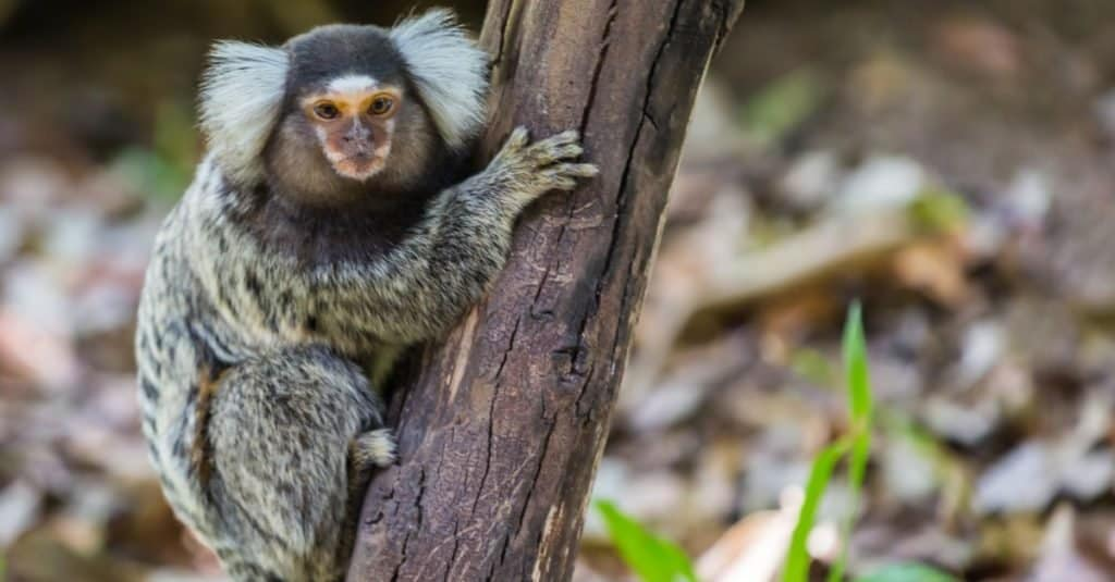 Smallest Monkeys_ Common Marmoset