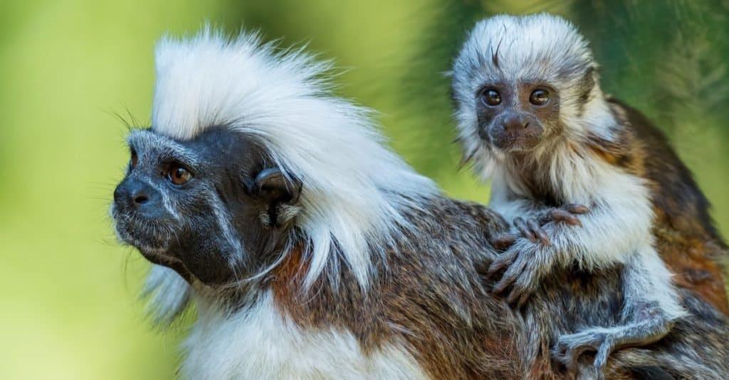 Smallest Monkeys: Cotton-top Tamarin