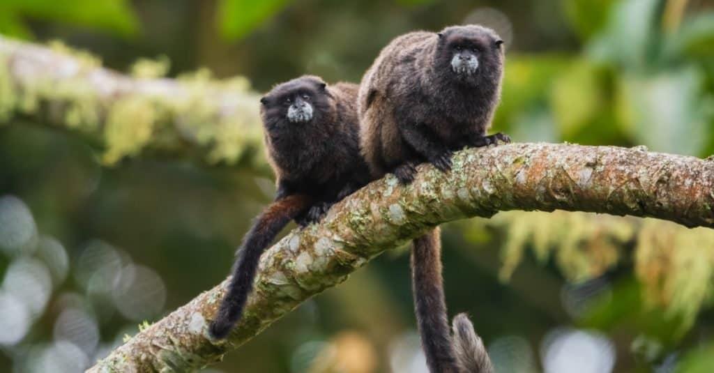 Smallest Monkeys: Graells's Tamarin