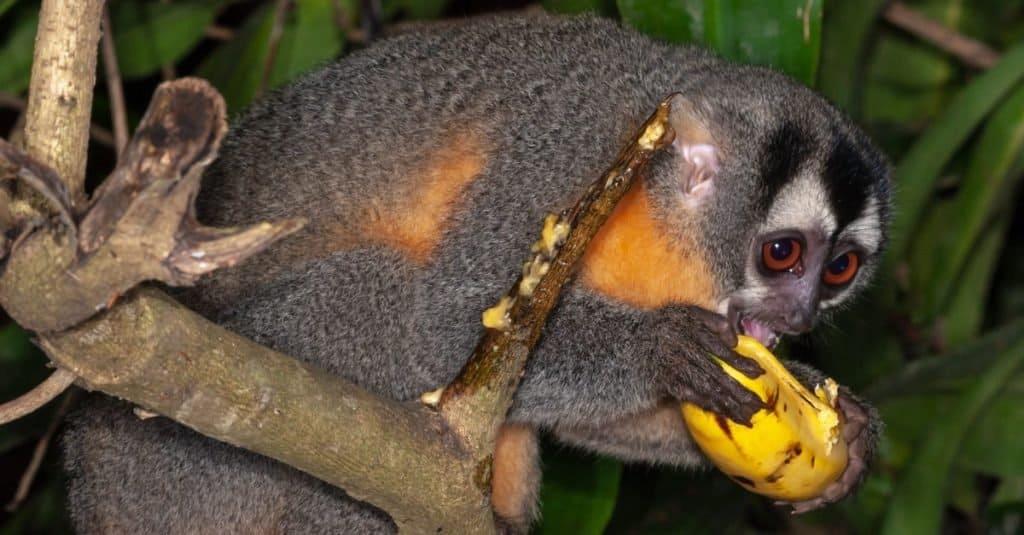 Smallest Monkeys: Night Monkey