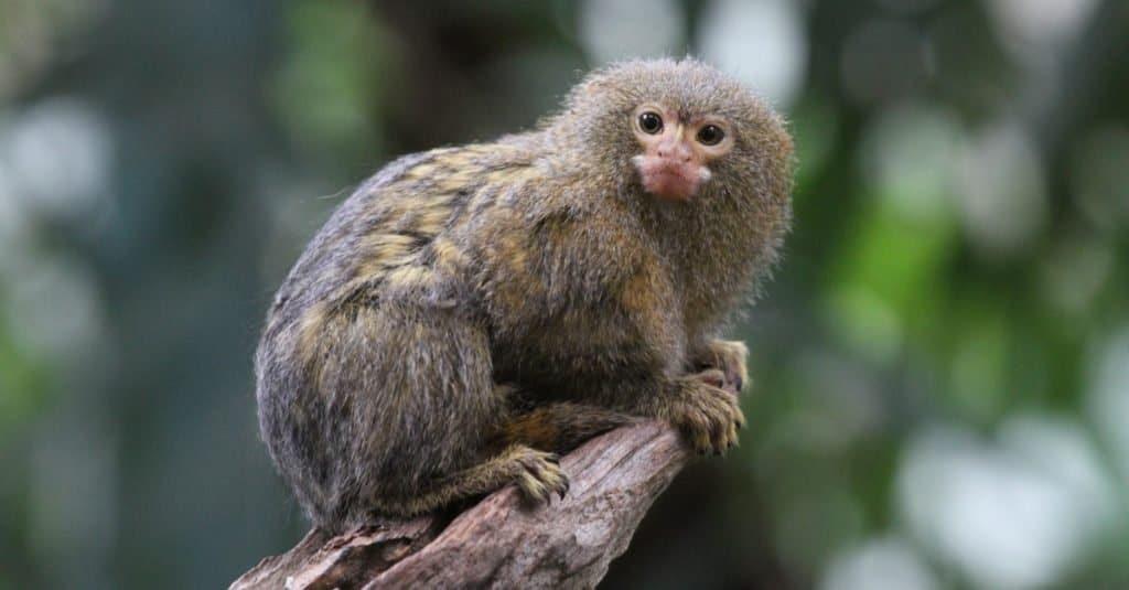 Smallest Monkeys_ Pygmy Marmoset