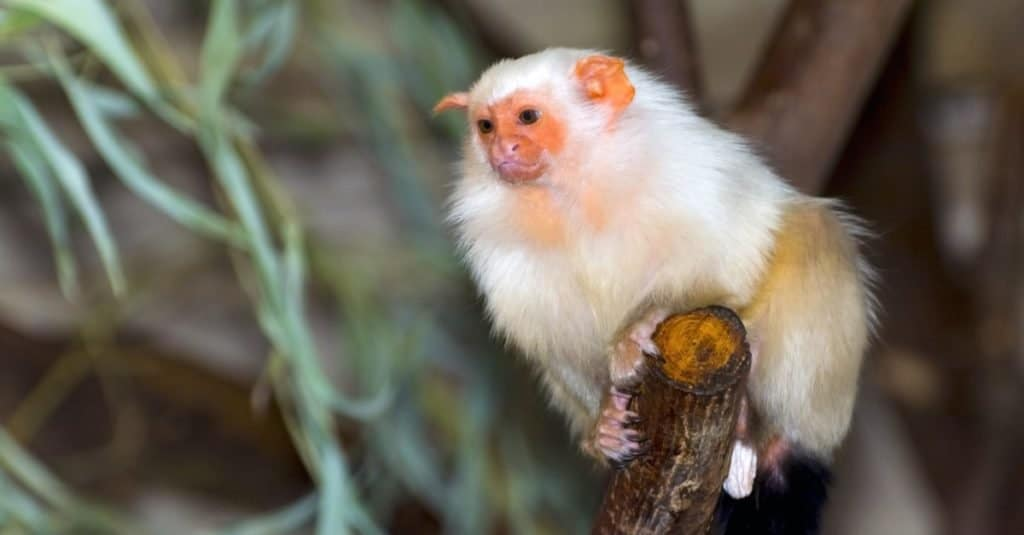 Smallest Monkeys_ Silvery Marmoset