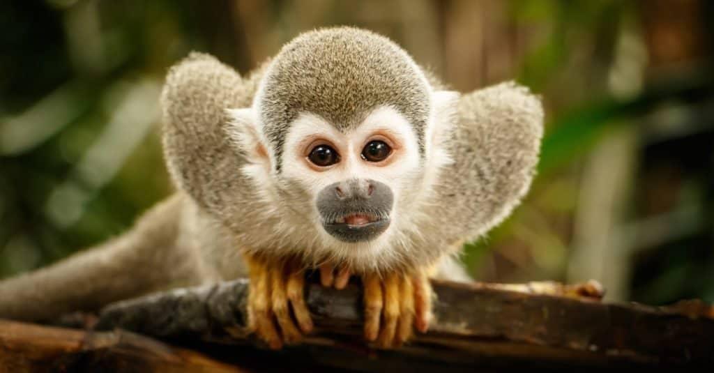 Smallest Monkeys: Squirrel Monkey