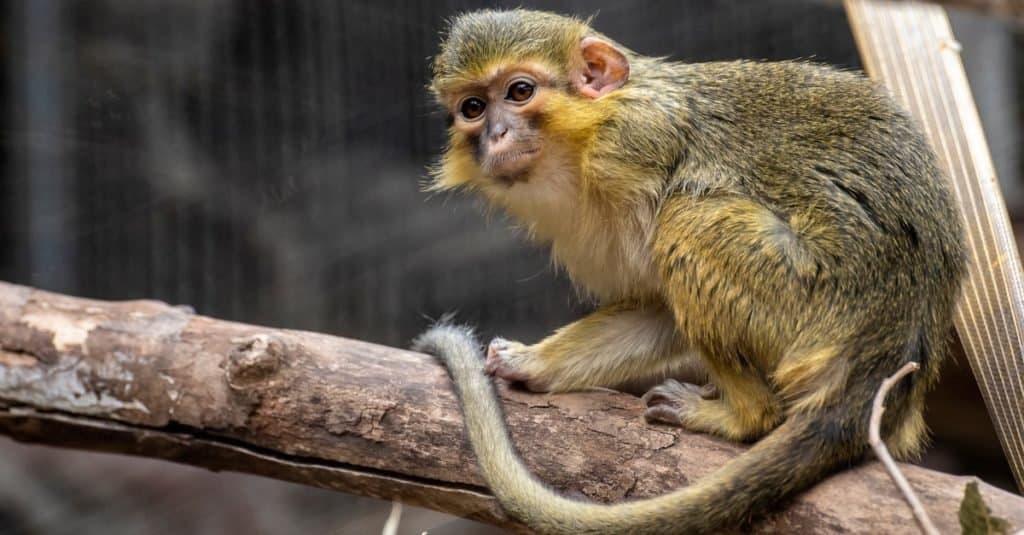 Smallest Monkeys: Talapoin Monkey