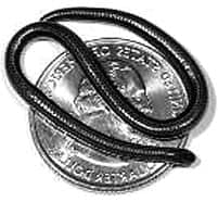 Smallest Snakes: Barbados Thread snake