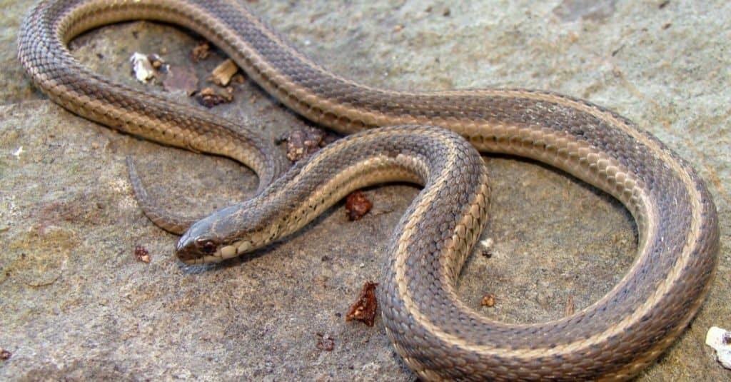 Smallest Snakes: Lined Snake