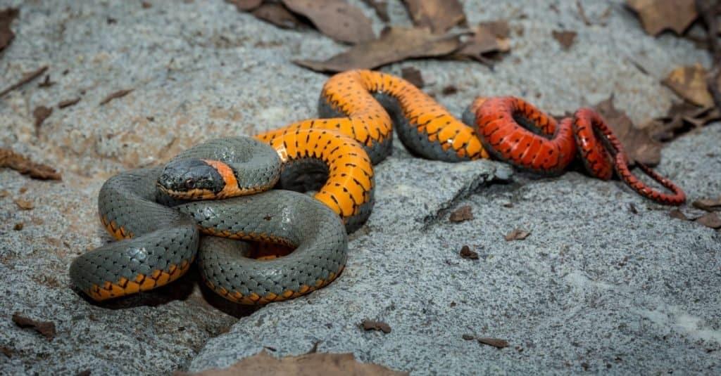Smallest Snakes: Ringneck Snake