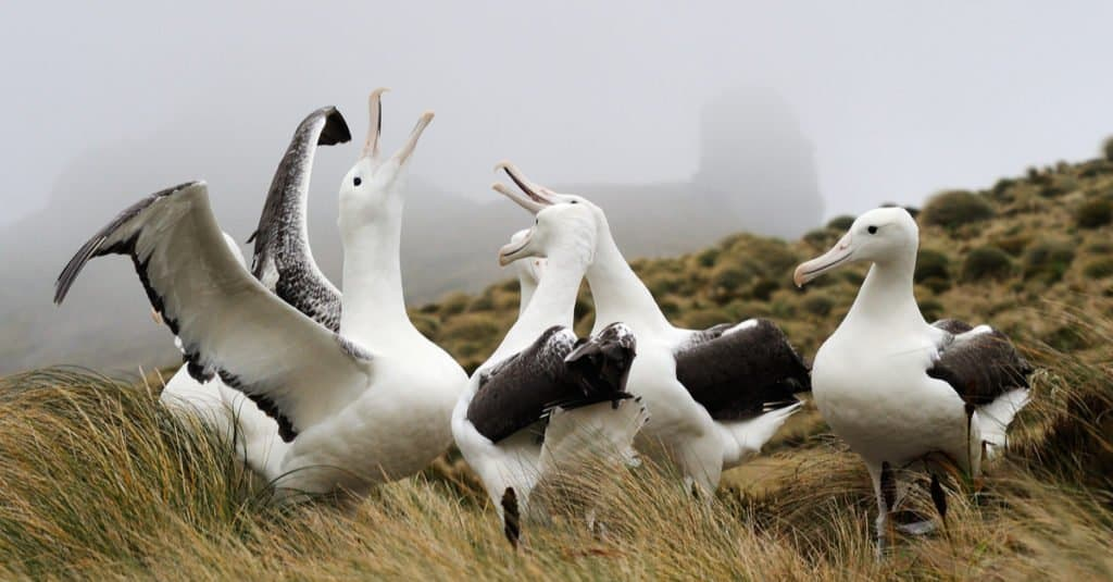 El albatros real del sur solo pone de uno a dos huevos cada año.
