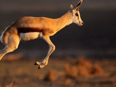A Springbok