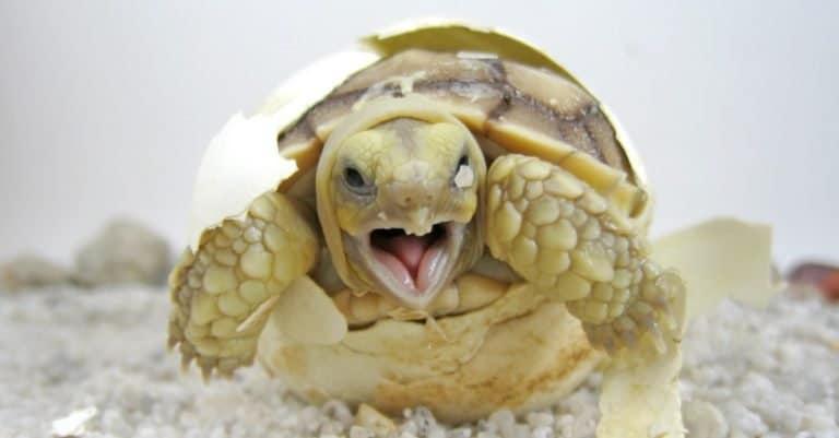 Baby Sulcata tortoise hatching (African spurred tortoise)