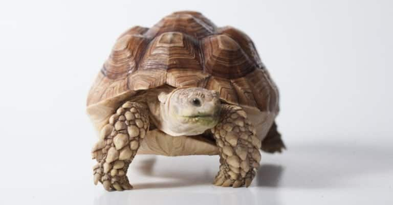 African Sulcata tortoise (Centrochelys sulcata) isolated on white background.