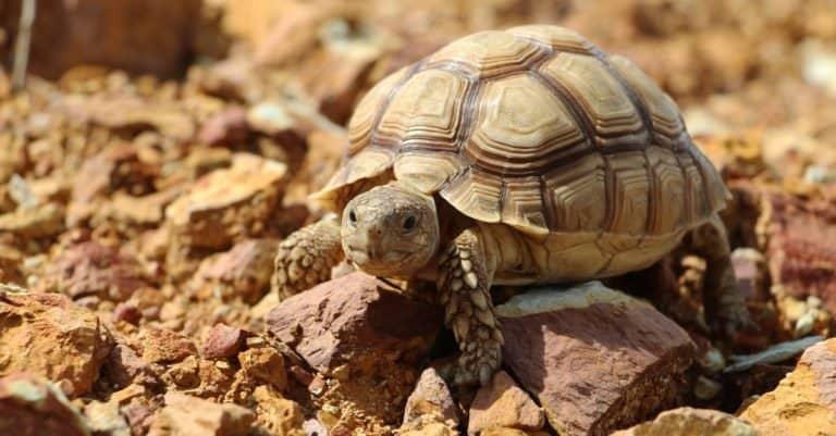 Sulcata Tortoise in the African desert, walking on rocks.