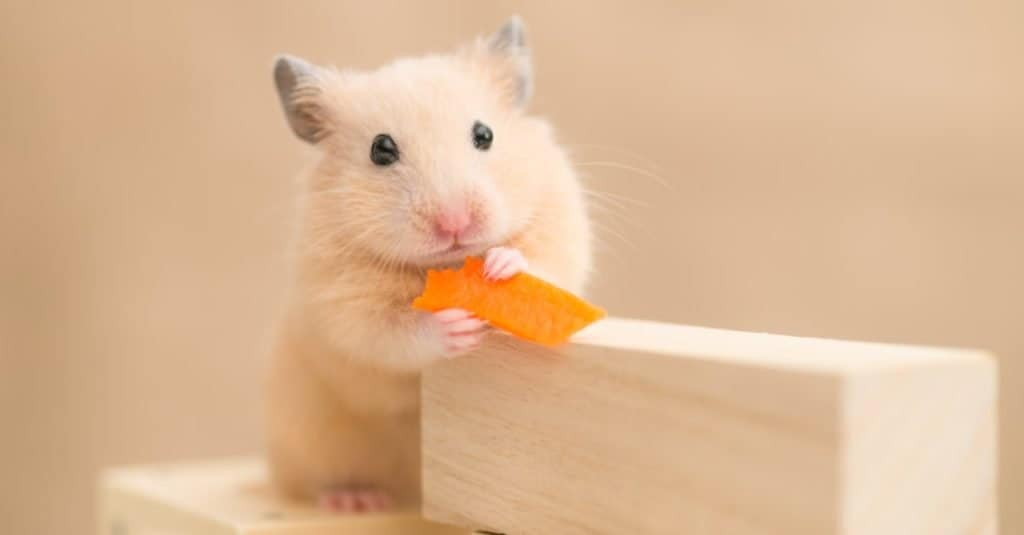 Syrian Hamster eating a carrot on building blocks..