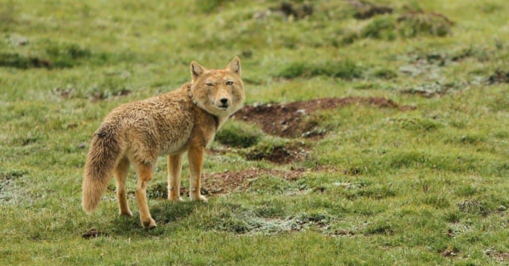 Tibetan sand fox (Vulpes ferrilata) walking on the upland plains on the Tibetan Plateau of China.