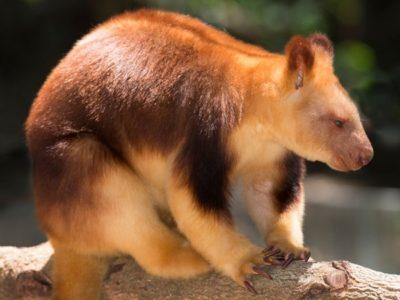 A Tree Kangaroo