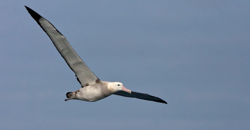 El albatros de Tristan no madura hasta los 10 años.