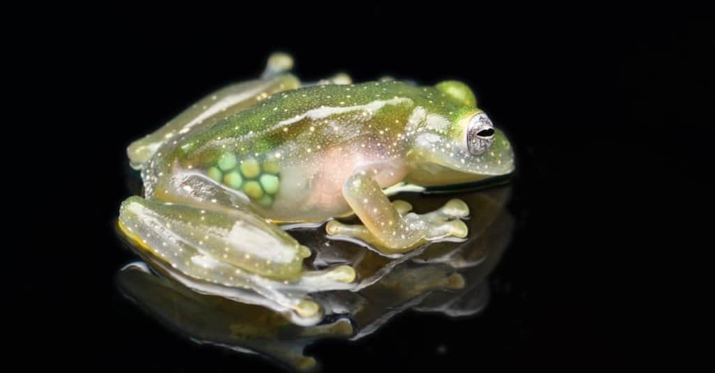 Weirdest Animal: Glass frog