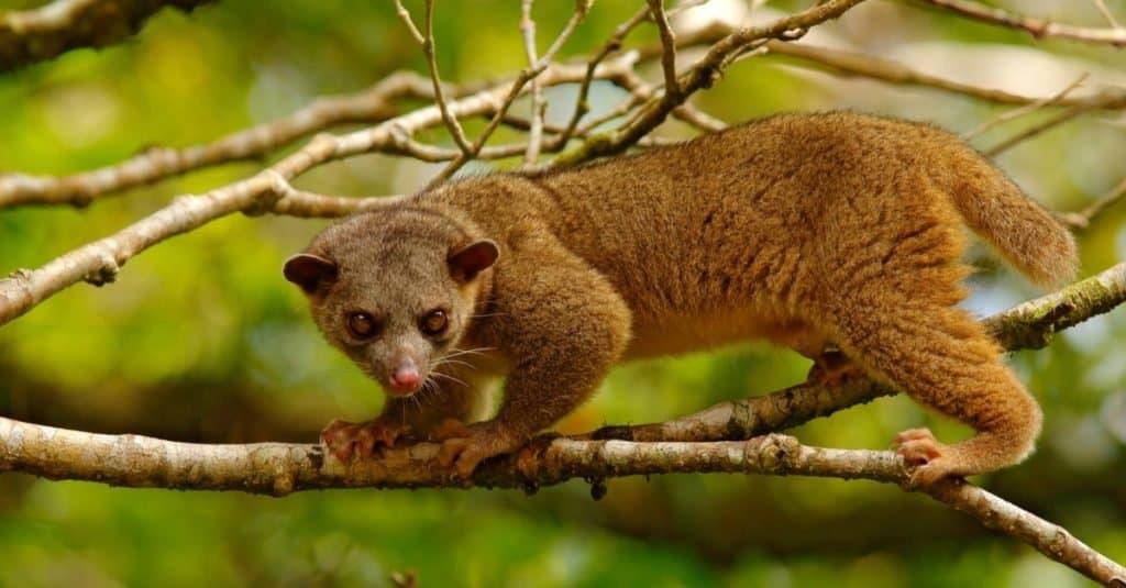 Weirdest Animal: Kinkajou