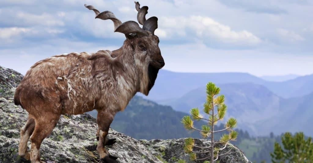 Weirdest Animal: Markhor